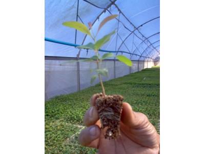 Arboreas - Eucalipto